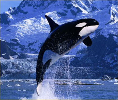 http://rucool.marine.rutgers.edu/atlantic/obis/images/killer_whale.jpg